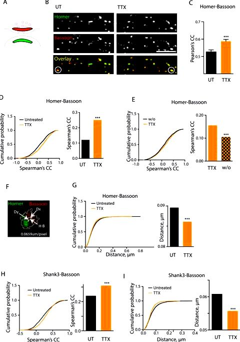 Controlling synaptic strength diversity in hippocampal neurons and Distinguished Investigator