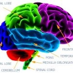 Insidewithin all the mind: unraveling dense systems within the cerebral cortex