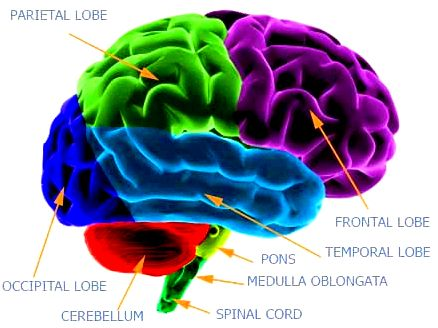 Insidewithin all the mind: unraveling dense systems within the cerebral cortex  systems is shared by major