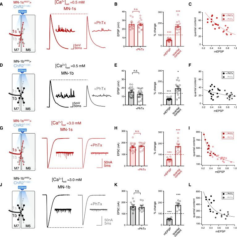 Synaptic homeostasis: flies rodents and humans — graeme davis laboratory essential signaling