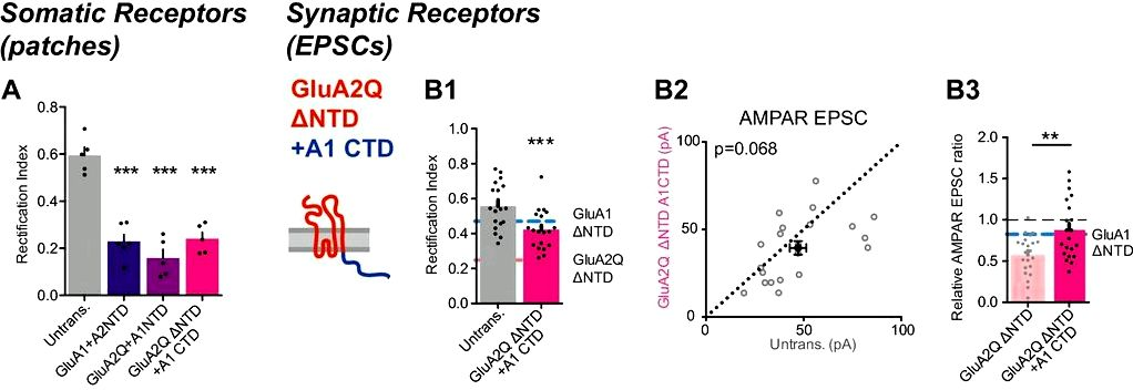 Synaptic transmission and plasticity require ampa receptor anchoring via its n-terminal domain improvement in