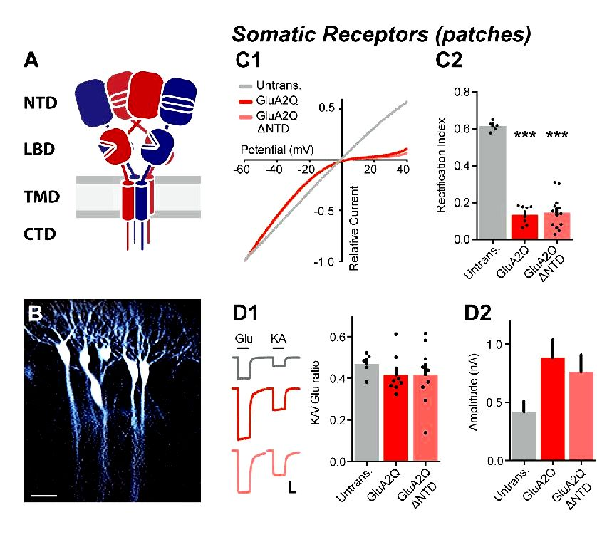 Synaptic transmission and plasticity require ampa receptor anchoring via its n-terminal domain original manuscript